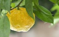 Firmenich Announces Two Flavors of the Year for 2021: A Super-Root, Ginger and a Super-Fruit, Yuzu